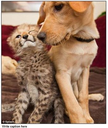 Cheetah-dog